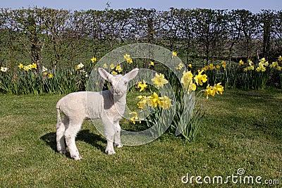 Lamb in daffodils