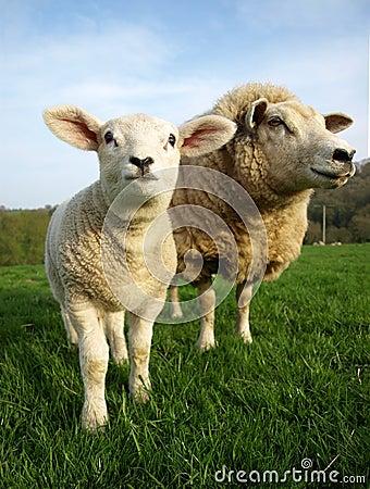 Lamb and Ewe