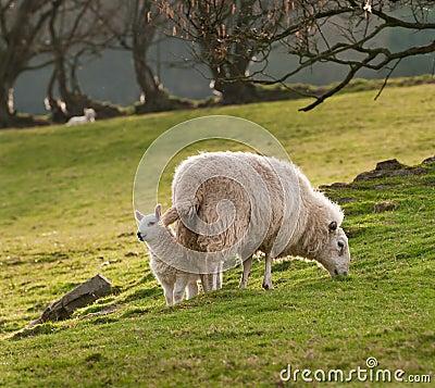 Lamb & Ewe (Ovis aries) on Welsh Hillside