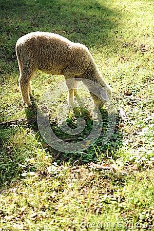 Lamb Grazing