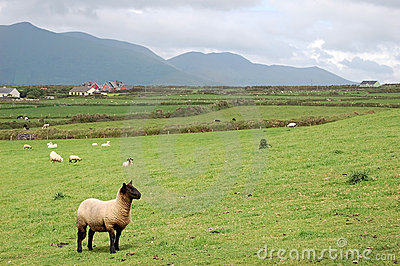 Lamb in irish landscape