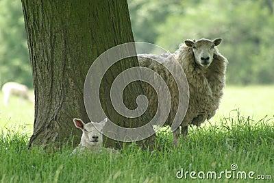 Lamb maciorki