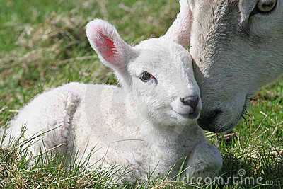 Lamb & Mother