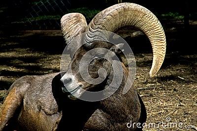 Lamb Muflon