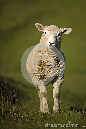 Lamb in One Tree Hill Domain