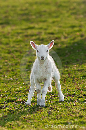 Lamb (Ovis aries) in Pasture