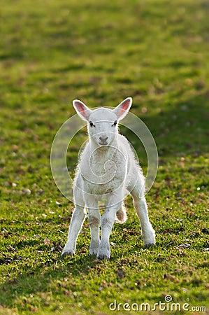 Lamb (Ovis aries) in Pasture
