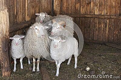 Lamb s little family