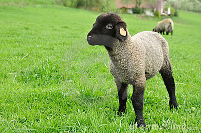 Lamb sheep