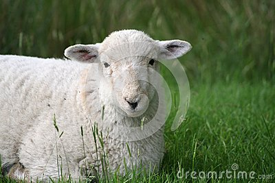 Lamb in Snowdonia National Park