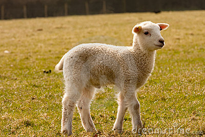 Lamb standing in field