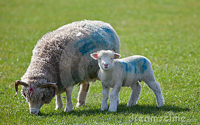 Lamb starring at camera with mother