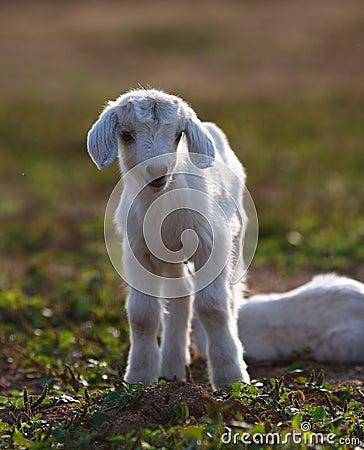 Free Lambs Royalty Free Stock Photo - 9623935