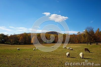 Lambs in Autumn meadow