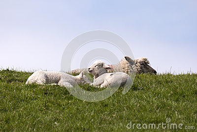 Lambs on the of Westerhever