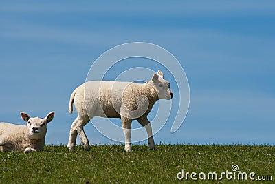 Lambs on a dyke