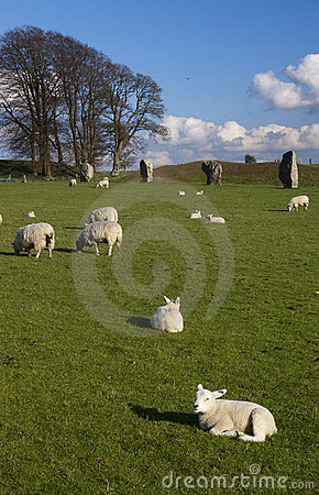 Lambs in England