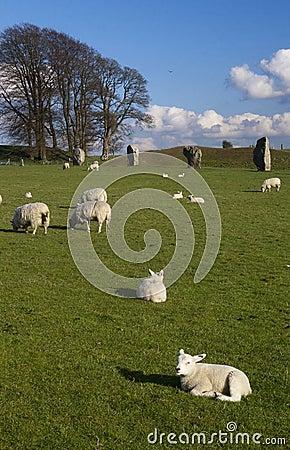 Lambs in England