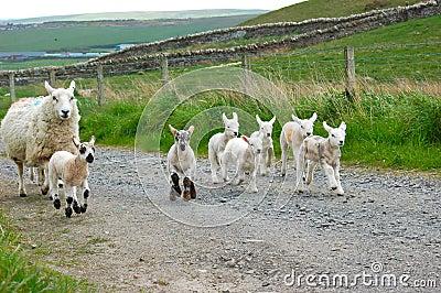 Lambs galloping