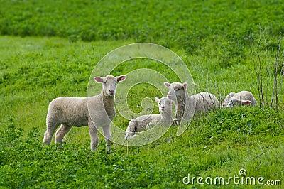 Lambs in Green Field