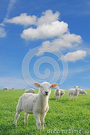 Free Lambs New Stock Photos - 2775253