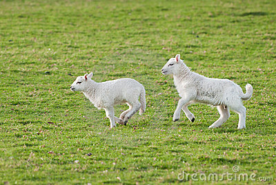 Lambs (Ovis aries) Run Through Pasture
