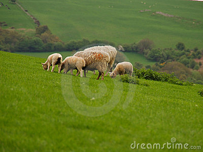 Lambs And Sheep Grazing