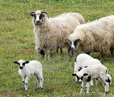 Lambs and sheeps