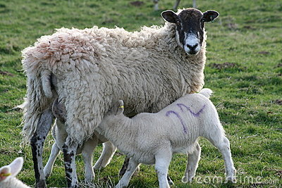 Lambs suckling from mother