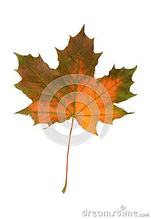 Lame d automne de Mapple