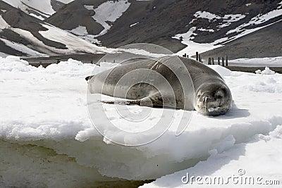 Lampart foka
