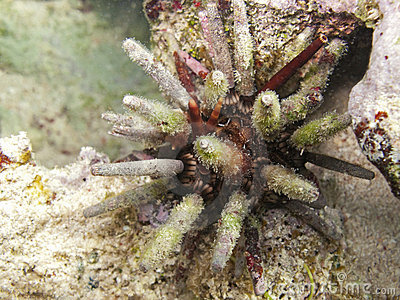 Lance urchin from Cuba