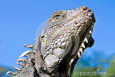 Land Iguana close up head with blue skyes
