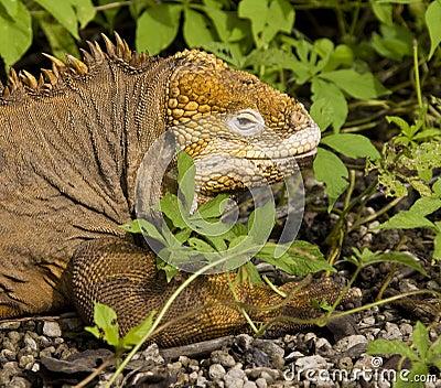 Land Iguana - Galapagos Islands - Ecuador