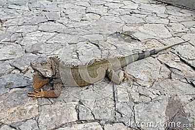 A land iguana in Guayaquil, Ecuador