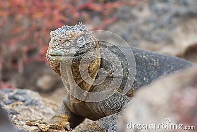 Land Iguana Stare