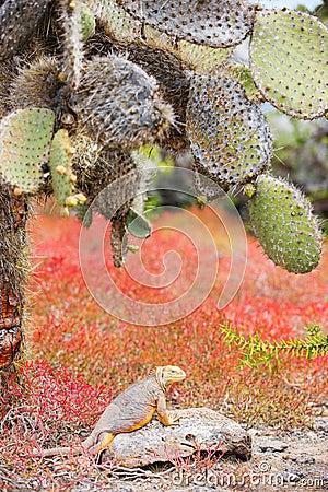 Land iguana under opuntia cactus
