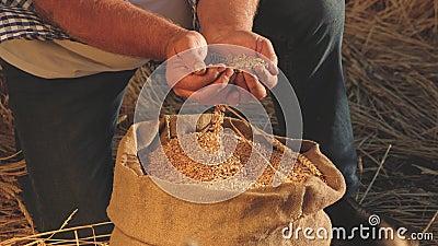 Landbouwconcept De handen van de boeren gieten tarwekorrels in een zak met oren afsluiten Oogst van granen Een agronoom stock videobeelden