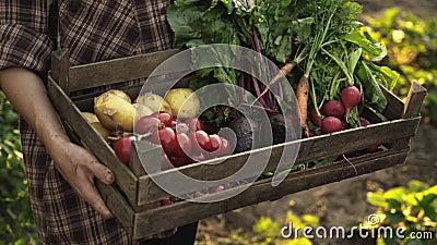 Landbouwershanden die houten dooshoogtepunt van verse organische groenten houden, aardappel, wortelen, tomaat, bieten, radijs stock footage