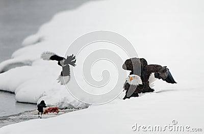 Landing of an Bald eagle.