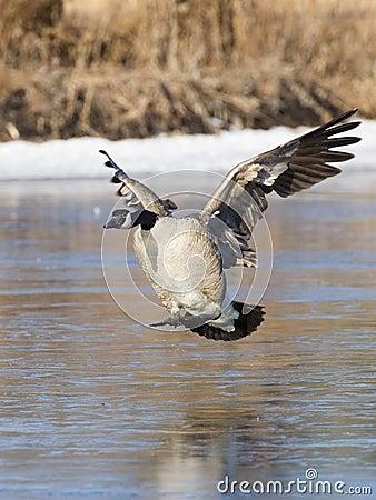 Free Landing Canada Goose Royalty Free Stock Images - 24990179