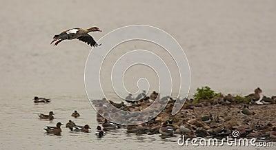 Landing Egyptian Goose