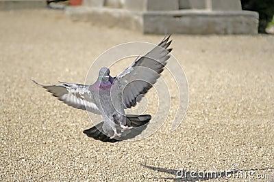 Landing pigeon