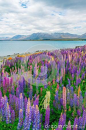 Free Landscape At Lake Tekapo Lupin Field In New Zealand Stock Photography - 113940382