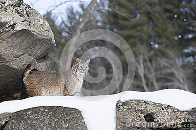 Landscape Bobcat on snowy cliff