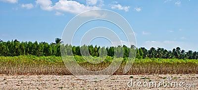 Landscape of cassava crop