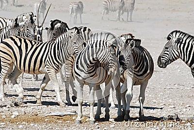 Landscape Etosha National Park with zebra