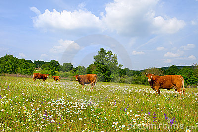 Landscape with French Limousin cows