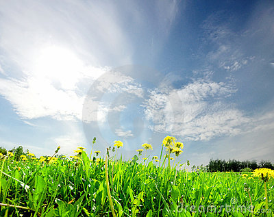 Landscape green field with dandelion