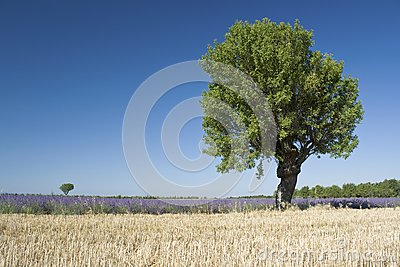 Landscape with lavender from. Provence